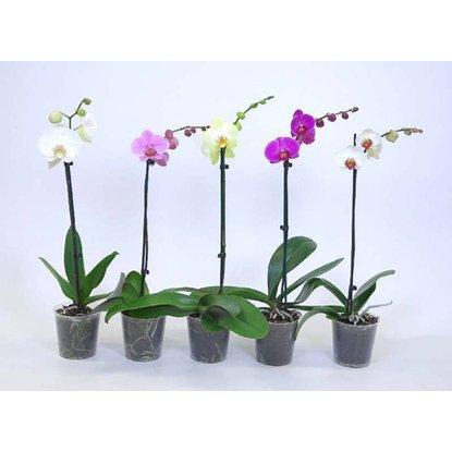 Orchidea Phalaenopsis 1 výhonková