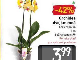 Orchidea dvojkmenná 1 ks